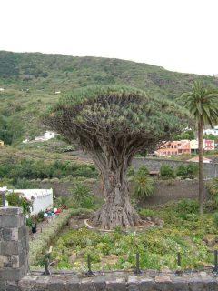 Tenerife, drageblodtreet, Icod de los Vinos, Kanariøyene, Spania
